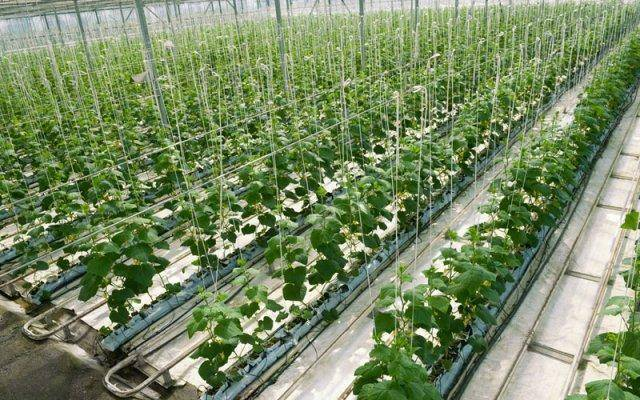 This hydroponic greenhouse growing cucumbers is just one example of what controlled environments and soilless mediums can do.