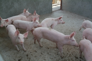 If pigs are affected by consuming GMOs, wouldn't humans suffer similar effects?