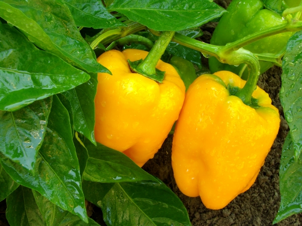 Ripening your crop organically can be tricky, but we have some great tips for you.