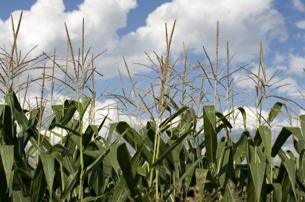 Hungary destroyed several corn fields contaminated with GMO.